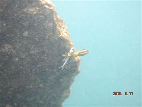 伊豆の落居海岸でシュノーケリング-イカが魚を捕食