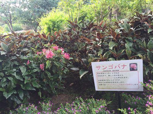 伊豆のあじさい苑のサンゴバナ