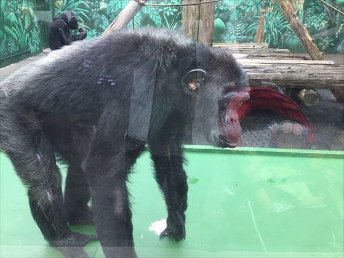 伊豆シャボテン公園のチンパンジー