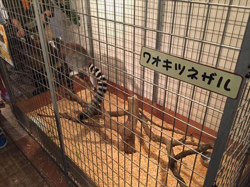 伊豆シャボテン公園のワオキツネザル