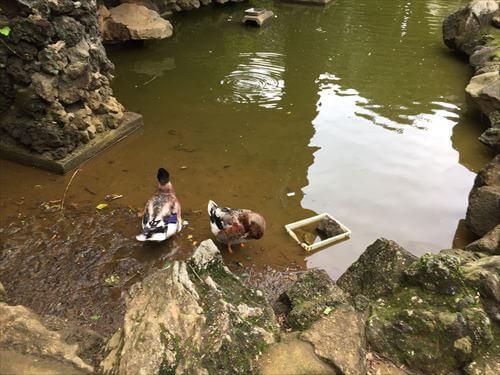 伊豆シャボテン公園のカモ
