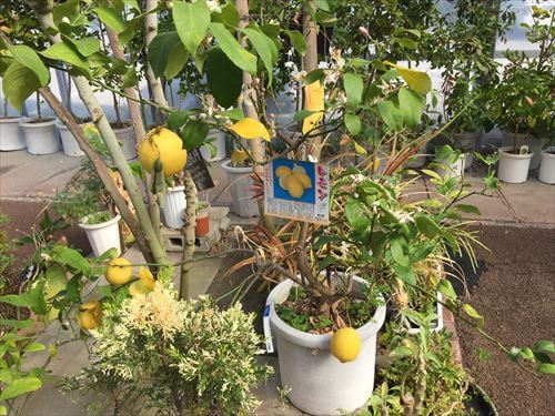 レモンの木