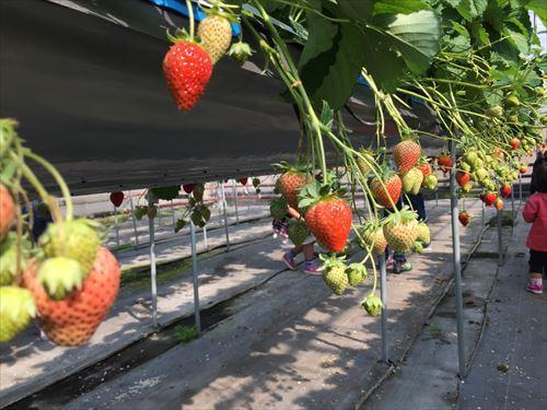 西島園芸団地いちご狩りのイチゴ