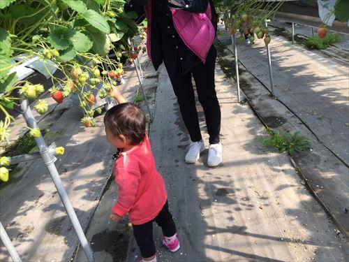 イチゴを採る子供ちゃん