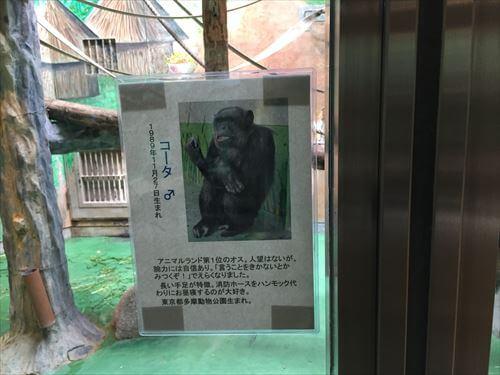 わんぱーくこうちのチンパンジーコータ