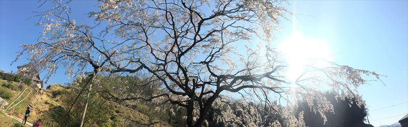 堀池のしだれ桜-パノラマ撮影