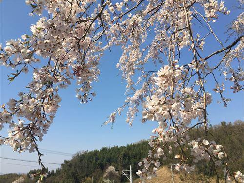 堀池のしだれ桜-アップ