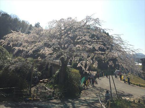 堀池のしだれ桜-反対側から