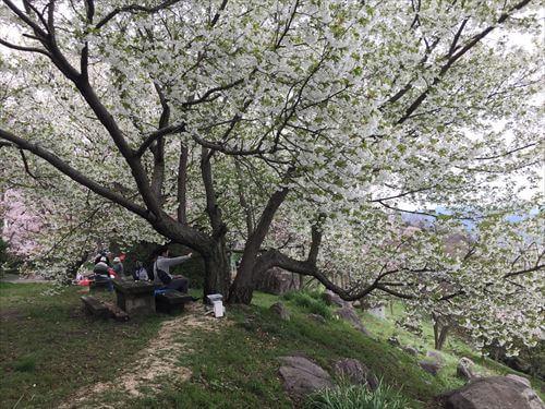 紫雲出山桜まつり-白い桜