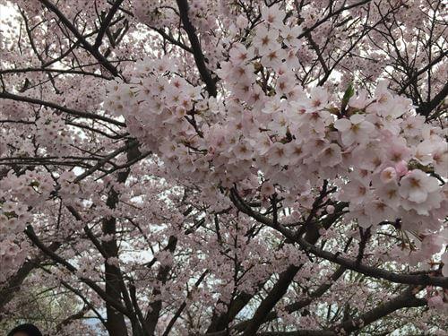 紫雲出山桜まつり-桜のアップ