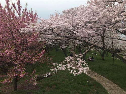 紫雲出山桜まつり-山頂広場の桜