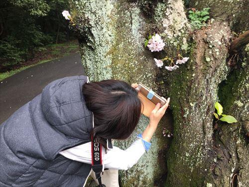 桜を撮影する奥さん