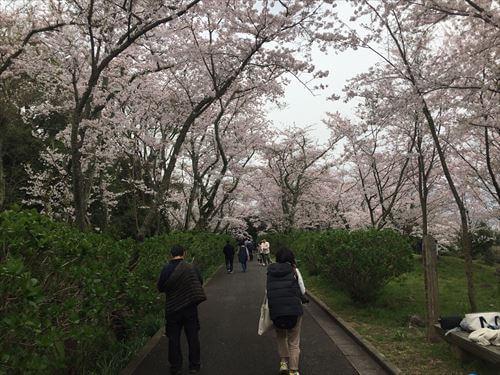 紫雲出山桜まつりの桜