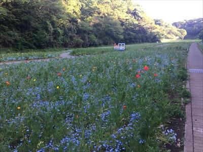 くりはま花の国の花