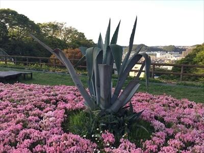 くりはま花の国のハーブ園のデカアロエ