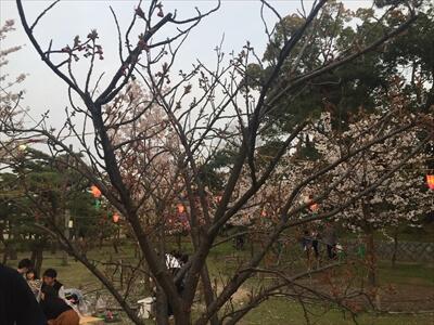 玉藻公園(高松城跡)の桜が枯れてる