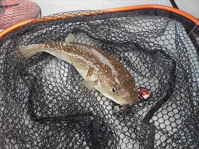 高松の船釣りで釣りあげたショウサイフグ
