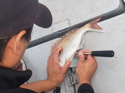 釣り上げた鯛のエア抜き