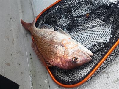 高松の船釣りで釣った鯛