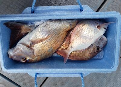 鮒釣りで釣った分前-鯛3匹とショウサイフグ